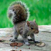 squirrel with coins