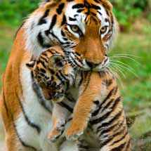 mother tiger carrying cub